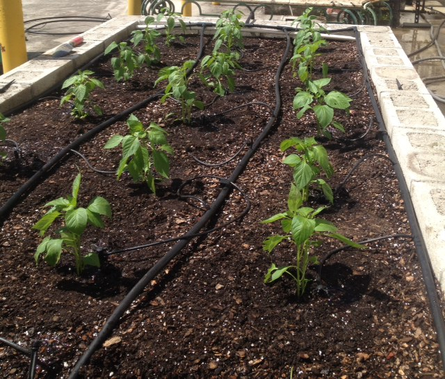 Quail Ridge garden peppers